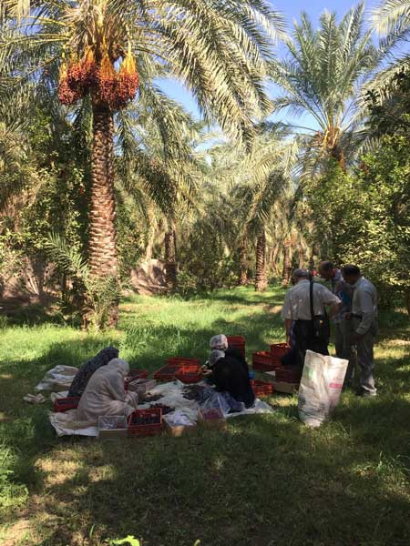 dattes-producteurs-bio-mazafati