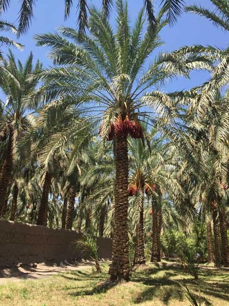 palmeraie-dattes-bio