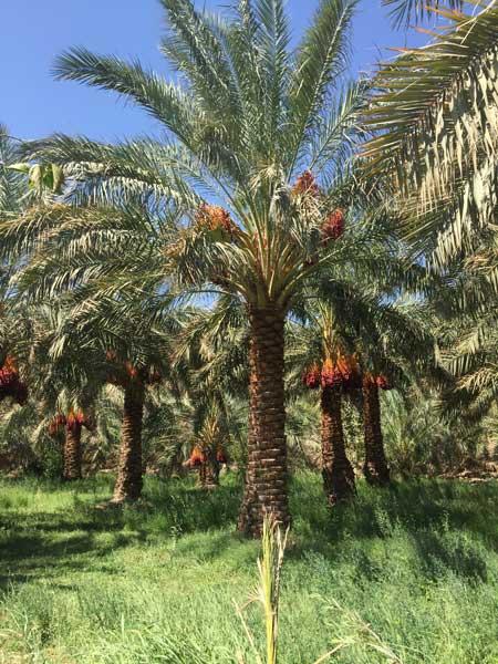 palmeraie-datte-mazafati